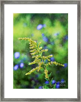 Goldenrod Framed Print by Darren Fisher