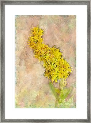Goldenrod Framed Print by Judi Bagwell