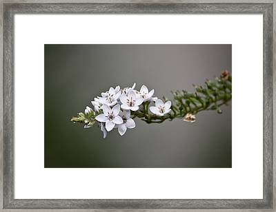 Gooseneck Loosestrife II Framed Print by Michael Friedman
