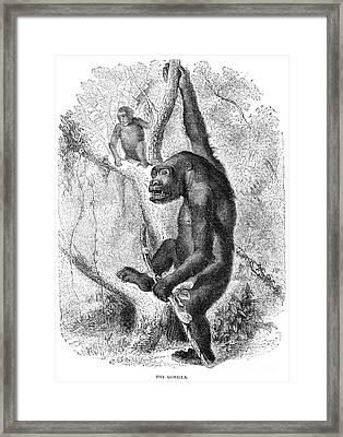 Gorilla Framed Print by Granger