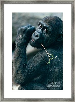 Gorilla Has A Snack Framed Print by Andrew  Michael