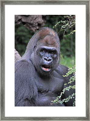Gorilla Framed Print by Mike Martin