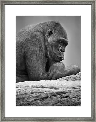 Gorilla Portrait Framed Print by Darren Greenwood