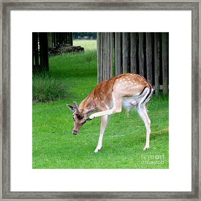 Got An Itch Framed Print by Isabella Abbie Shores
