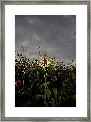 Goth Sunflower Framed Print by Peter Tellone