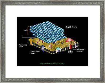 Gram Positive Cell Wall, Artwork Framed Print by Francis Leroy, Biocosmos