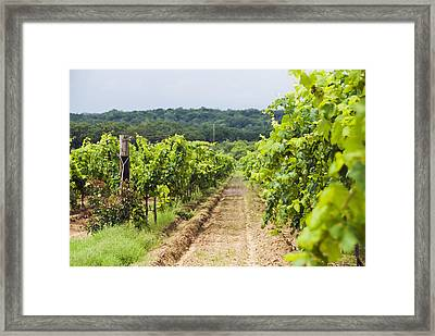 Grape Vines At Fall Creek Vineyards Framed Print by James Forte