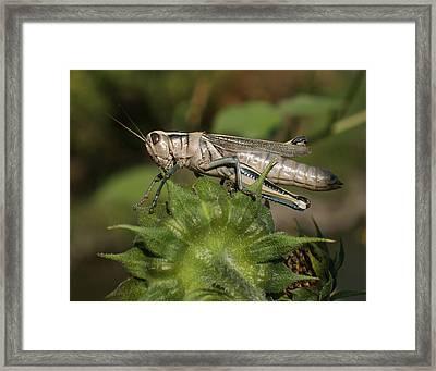 Grasshopper Framed Print by Ernie Echols