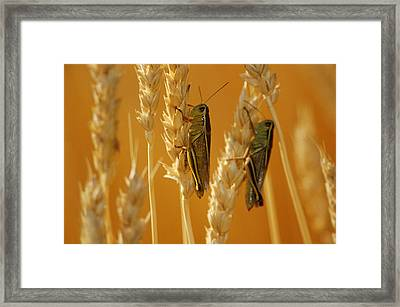 Grasshoppers On Wheat, Treherne Framed Print by Mike Grandmailson