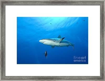 Gray Reef Shark. Papua New Guinea Framed Print by Steve Jones