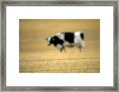 Grazing Cow, Alberta, Canada Framed Print by Ron Watts