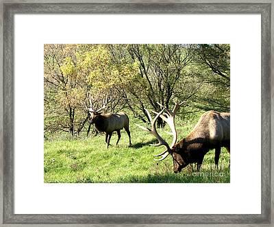 Grazing Elk  Framed Print by The Kepharts