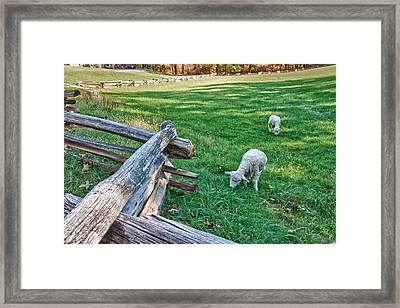 Grazing Farm Animals At Booker T. Washington National Monument Park Framed Print by James Woody