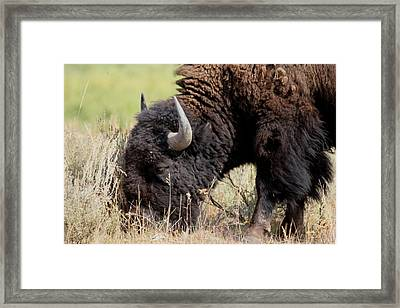 Grazing The Yellowstone Valley Framed Print by David Dunham