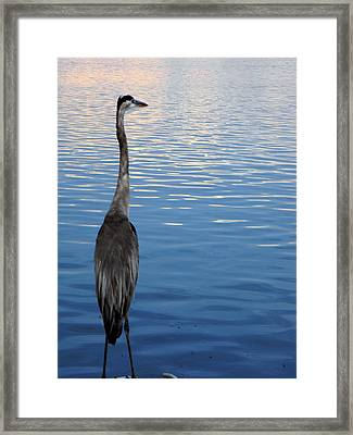Great Blue Framed Print by Christy Usilton