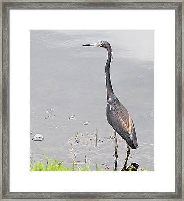Great Blue Heron Framed Print by Becky Lodes