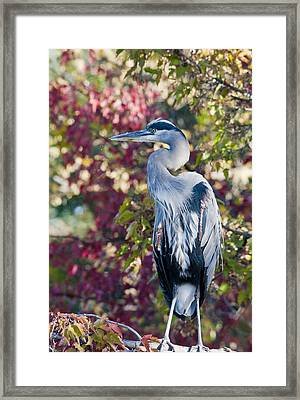 Great Blue Heron Framed Print by David Martorelli