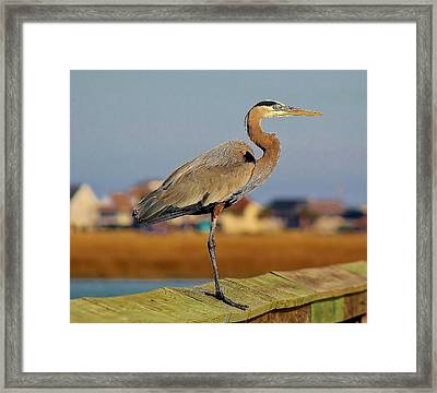 Great Blue Heron On The Marsh Framed Print by Paulette Thomas