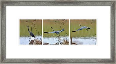 Great Blue Heron Takes Flight - T9535-7h  Framed Print by Paul Lyndon Phillips