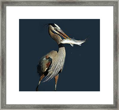 Great Blue Heron With Fish Framed Print by Paulette Thomas