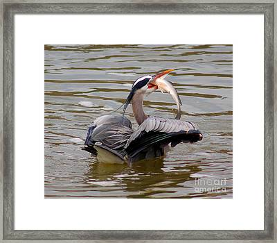Great Blue With A Drum Framed Print by Robert Frederick