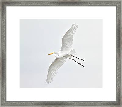 Great Egret Taking Off Framed Print by Bmse