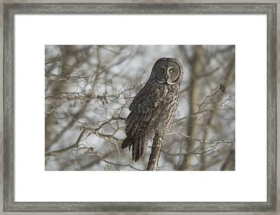 Great Gray Owl In Late Winter Forest Framed Print by Grambo Photography and Design Inc.