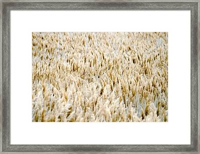 Great Salt Lake Reeds Framed Print by Joseph Rossi