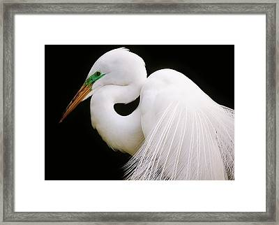 Great White Egret In Breeding Plumage Framed Print by Paulette Thomas