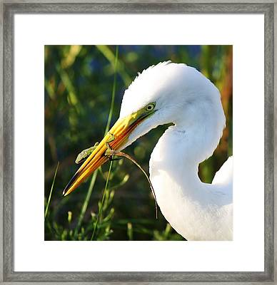 Great White Egret In The Lizard Framed Print by Paulette Thomas