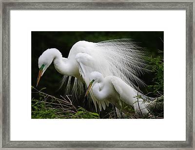 Great White Egret Mates Framed Print by Paulette Thomas
