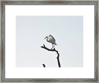 Great White Egret Framed Print by Nancybelle Gonzaga Villarroya