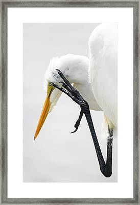 Great White Egret With A Itch Framed Print by Paulette Thomas