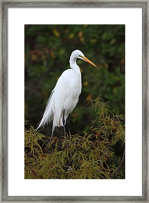 Great White Heron Near Everglades Np  Framed Print by Juergen Roth
