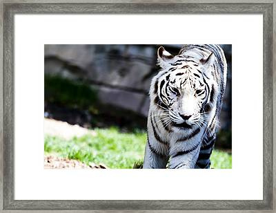Great White Framed Print by Nicholas Evans