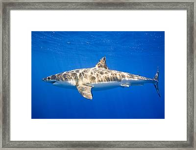 Great White Shark Carcharodon Carcharias Framed Print by Carson Ganci