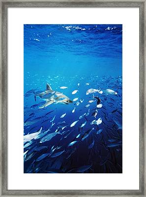 Great White Shark Hunting In A Large Framed Print by James Forte