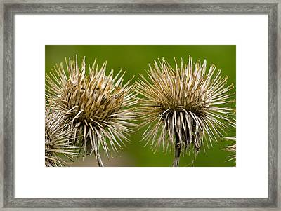 Greater Burdock (arctium Lappa) Framed Print by Bob Gibbons