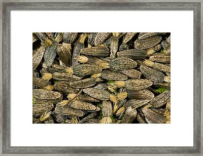 Greater Burdock Seeds (arctium Lappa) Framed Print by Bob Gibbons