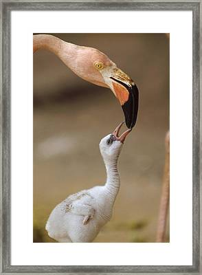 Greater Flamingo Mother And Chick Framed Print by Tim Fitzharris