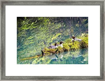 Grebe Podicipedidae Birds Sitting On A Framed Print by Richard Wear