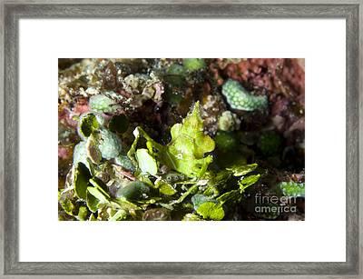 Green Arrowhead Crab, Papua New Guinea Framed Print by Steve Jones