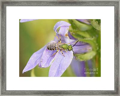 Green Bee On Great Blue Lobelia Framed Print by Robert E Alter Reflections of Infinity