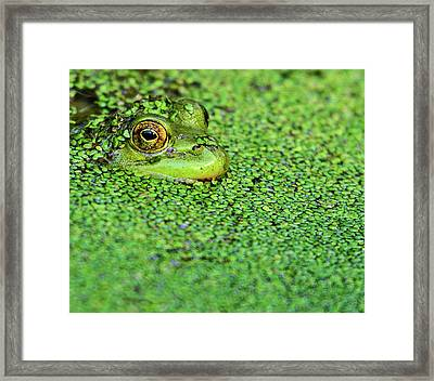 Green Bullfrog In Pond Framed Print by Patti White Photography