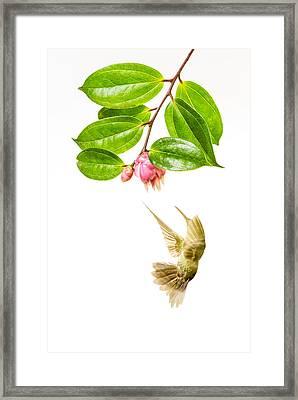 Green Crowned Brilliant Hummingbird Framed Print by Hali Sowle