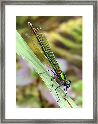 Green Damselfly Framed Print by Ramona Johnston