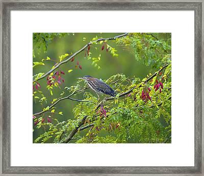 Green Heron Deep In The Swamp Framed Print by J Larry Walker