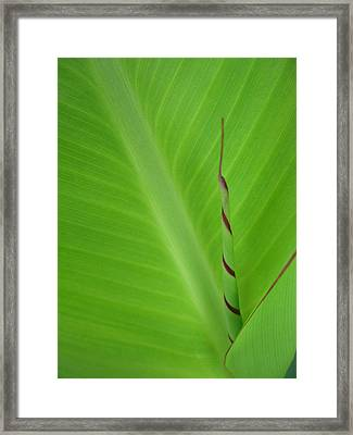 Green Leaf With Spiral New Growth Framed Print by Nikki Marie Smith
