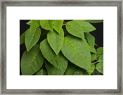 Green Leaves And Water Drops Framed Print by James BO  Insogna