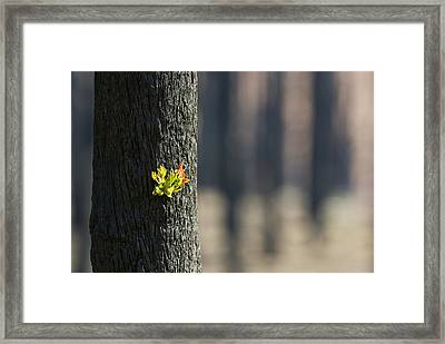 Green Leaves Sprout From Eucalyptus Framed Print by Jason Edwards